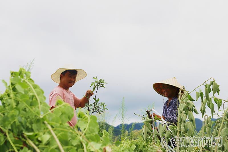 农户正在采收花椒.jpg