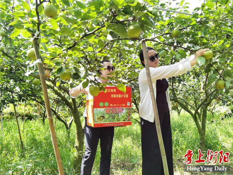 衡南大广村果农丰收!7万斤翠冠梨等你来摘